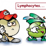 Le rôle des lymphocytes